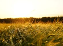 Agriculture-Barley